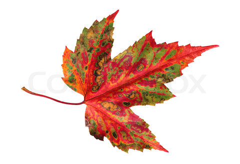 1622815-730239-autumn-leaf-maple-isolated-on-white-background.jpg